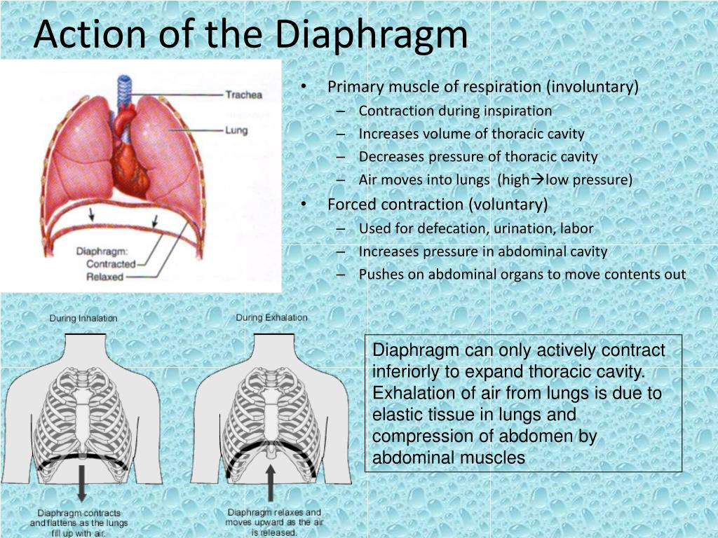 Action of the Diaphragm