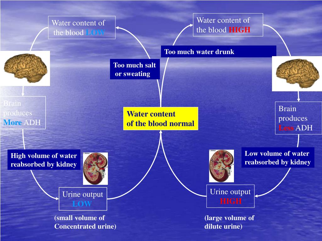 Water content of the blood