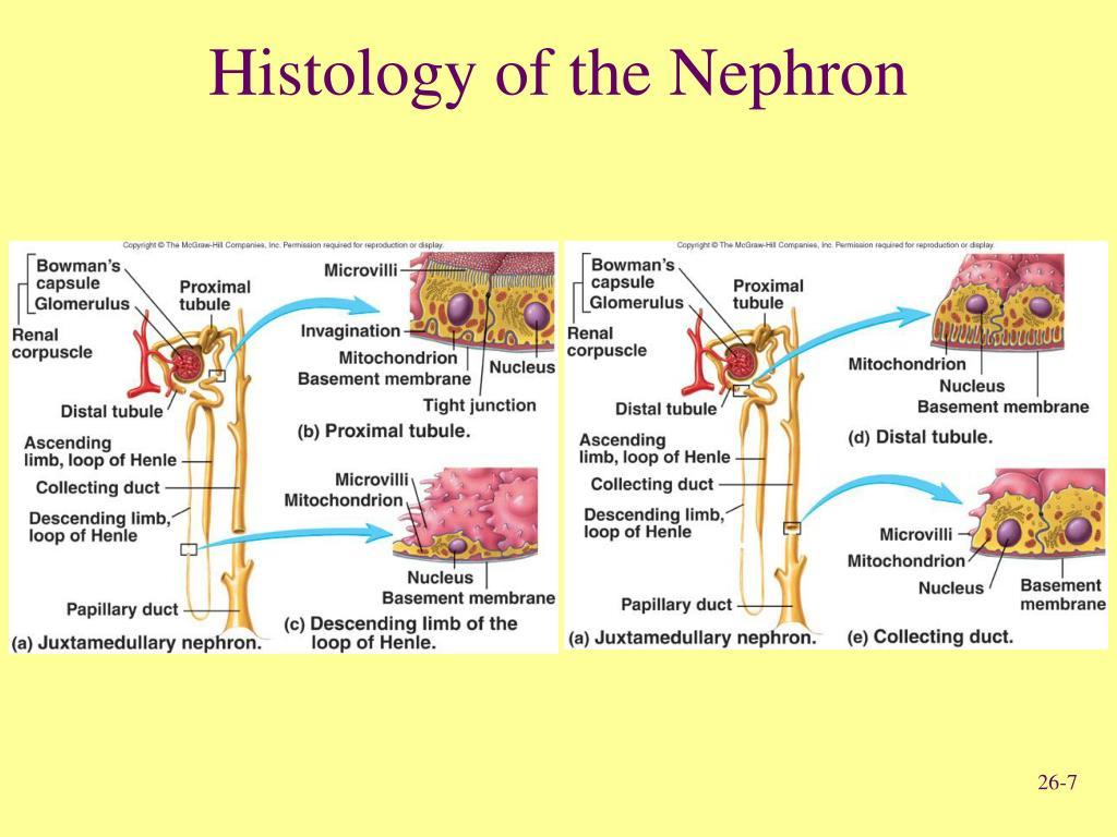 Human Urogenital System