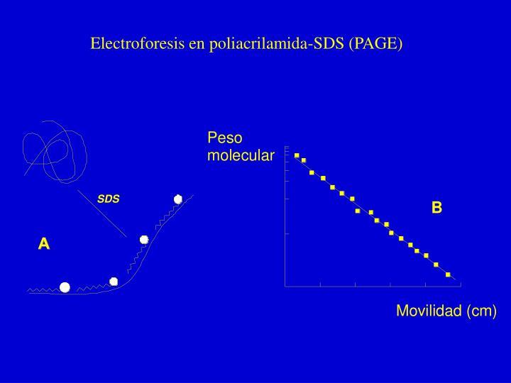 Electroforesis en poliacrilamida-SDS (PAGE)