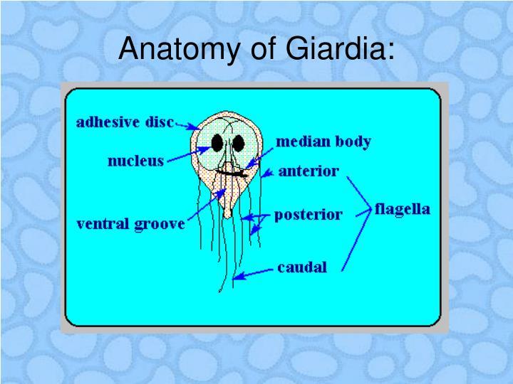 Anatomy of Giardia: