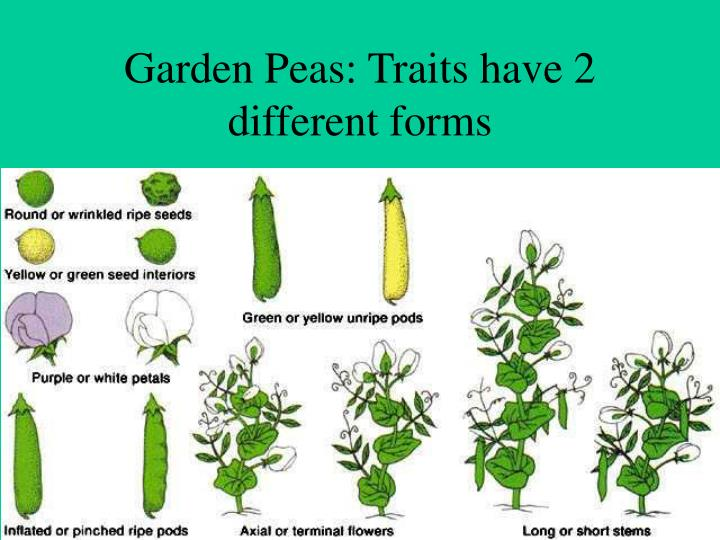 Garden Peas: Traits have 2 different forms