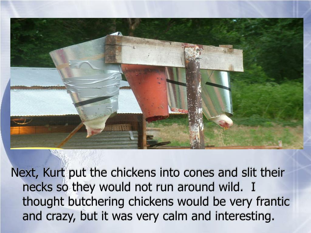 Next, Kurt put the chickens into cones and slit their necks so they would not run around wild.  I thought butchering chickens would be very frantic and crazy, but it was very calm and interesting.