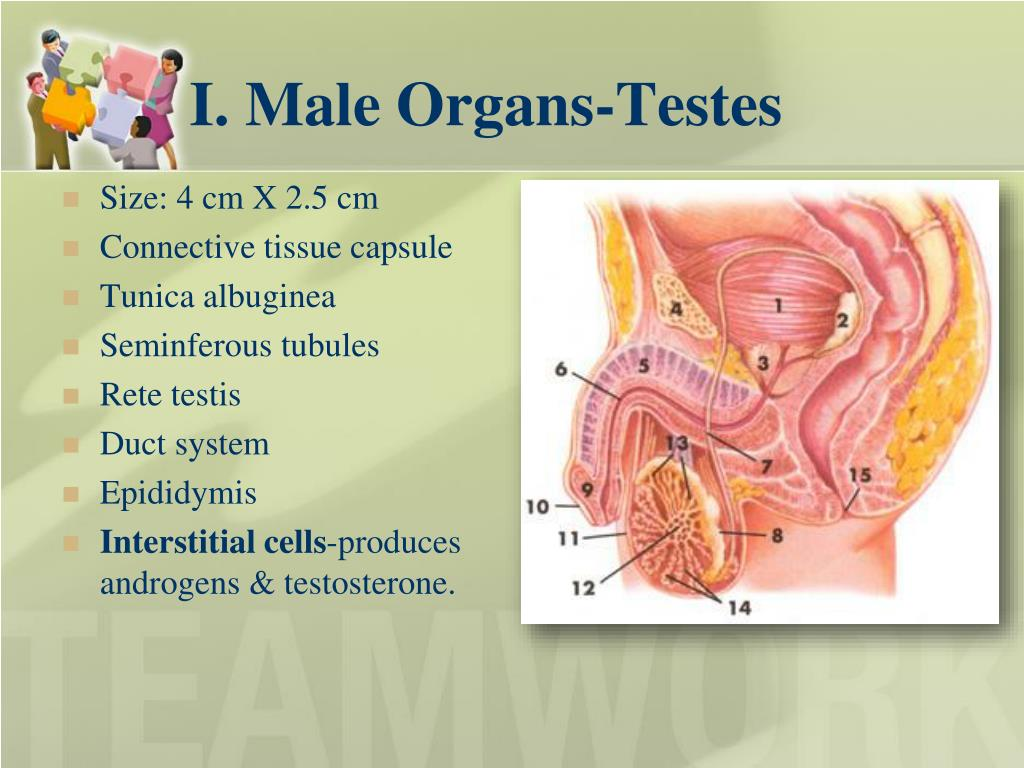 I. Male Organs-Testes