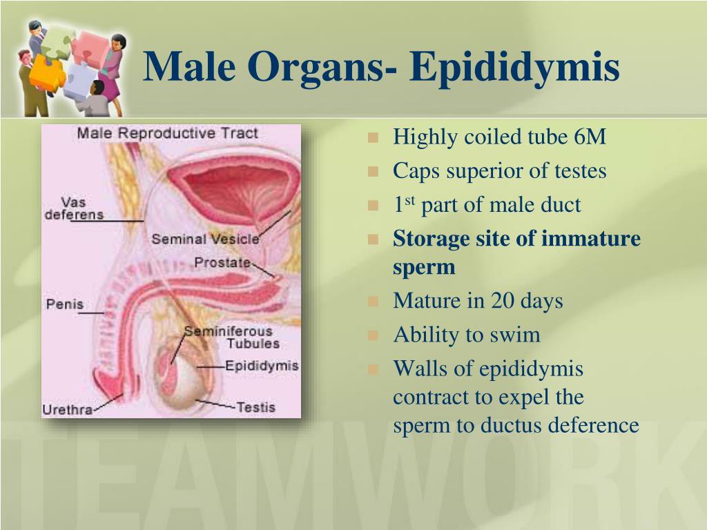 Male Organs- Epididymis