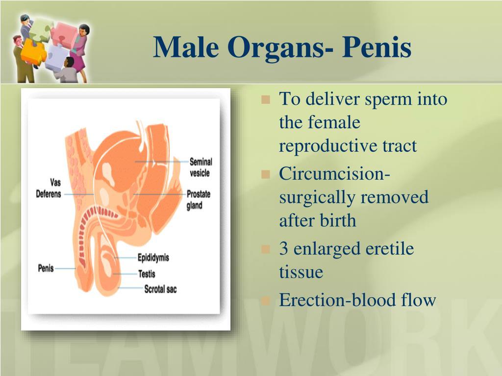 Male Organs- Penis