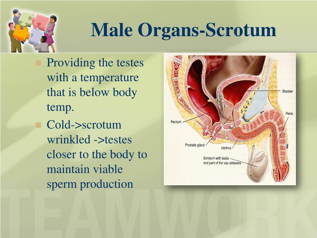 Male Organs-Scrotum