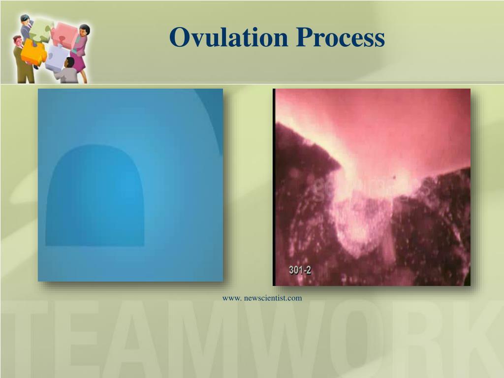 Ovulation Process