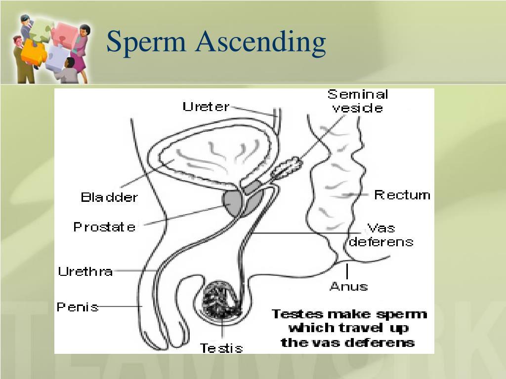 Sperm Ascending
