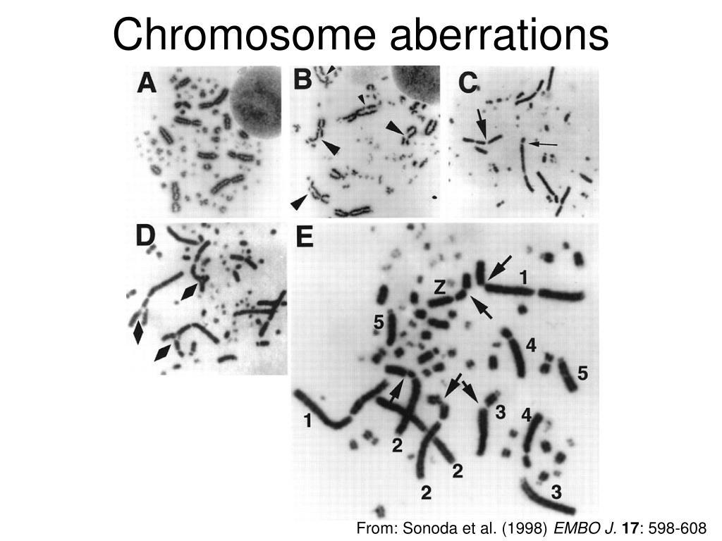 PPT - Chicken karyotype analysis/ SCEs PowerPoint ...