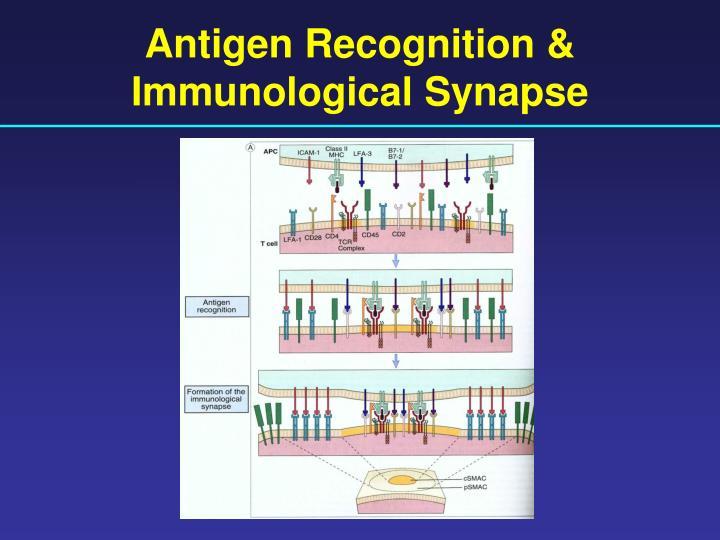 Antigen Recognition & Immunological Synapse