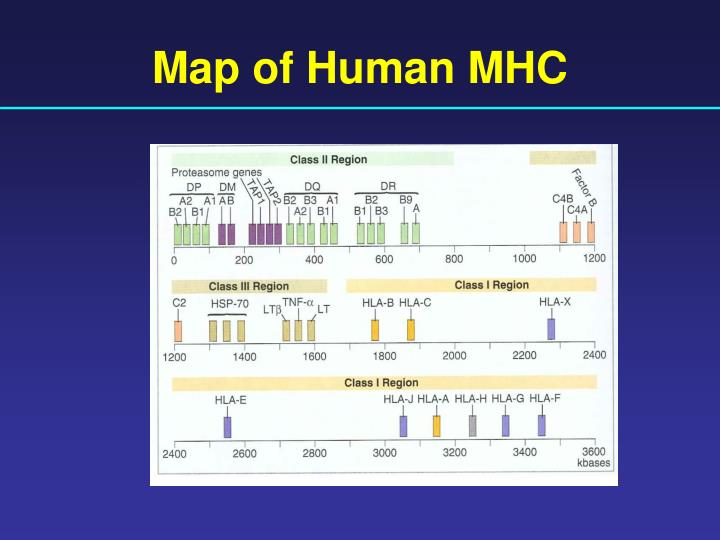 Map of Human MHC