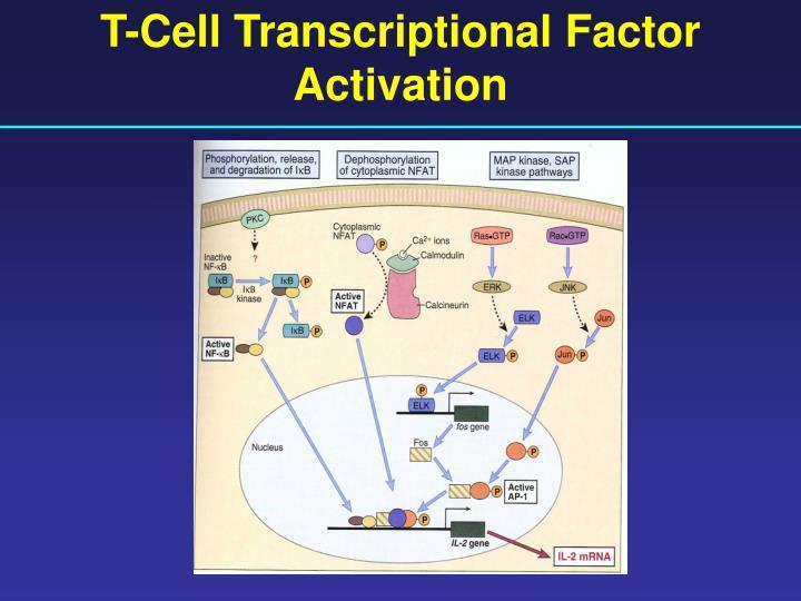 T-Cell Transcriptional Factor Activation