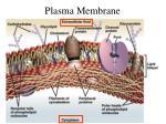 plasma membrane8