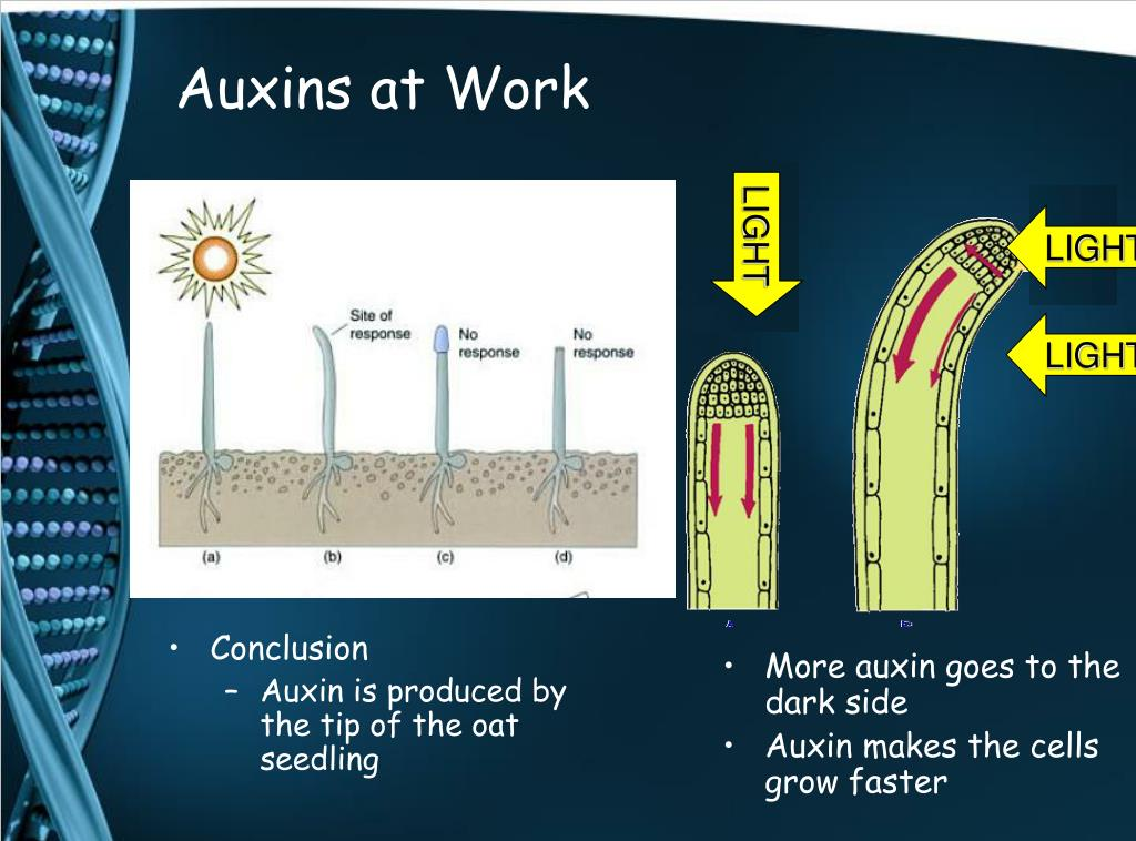 Auxins at Work