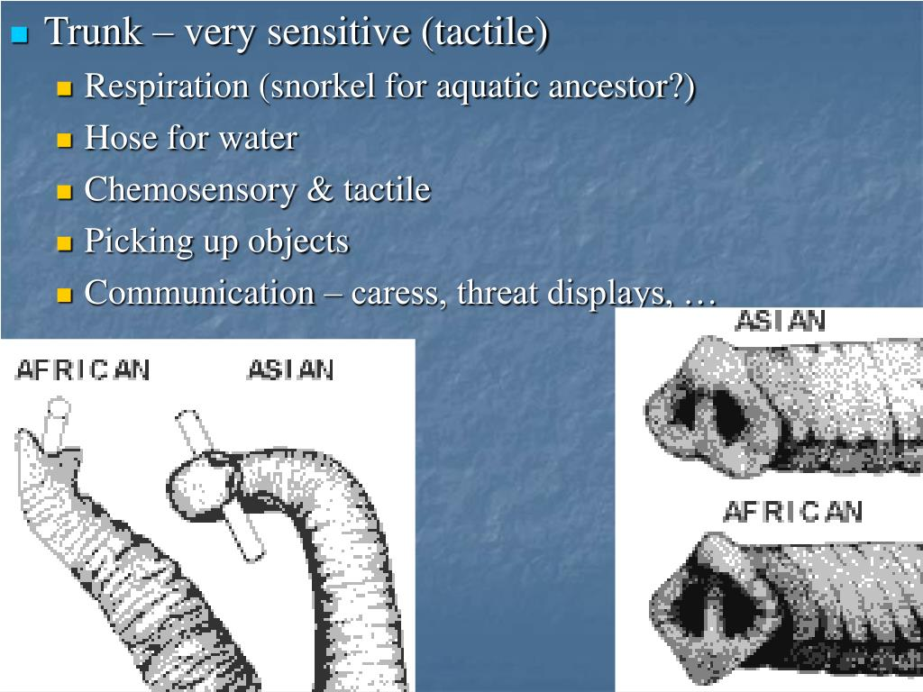 Trunk – very sensitive (tactile)