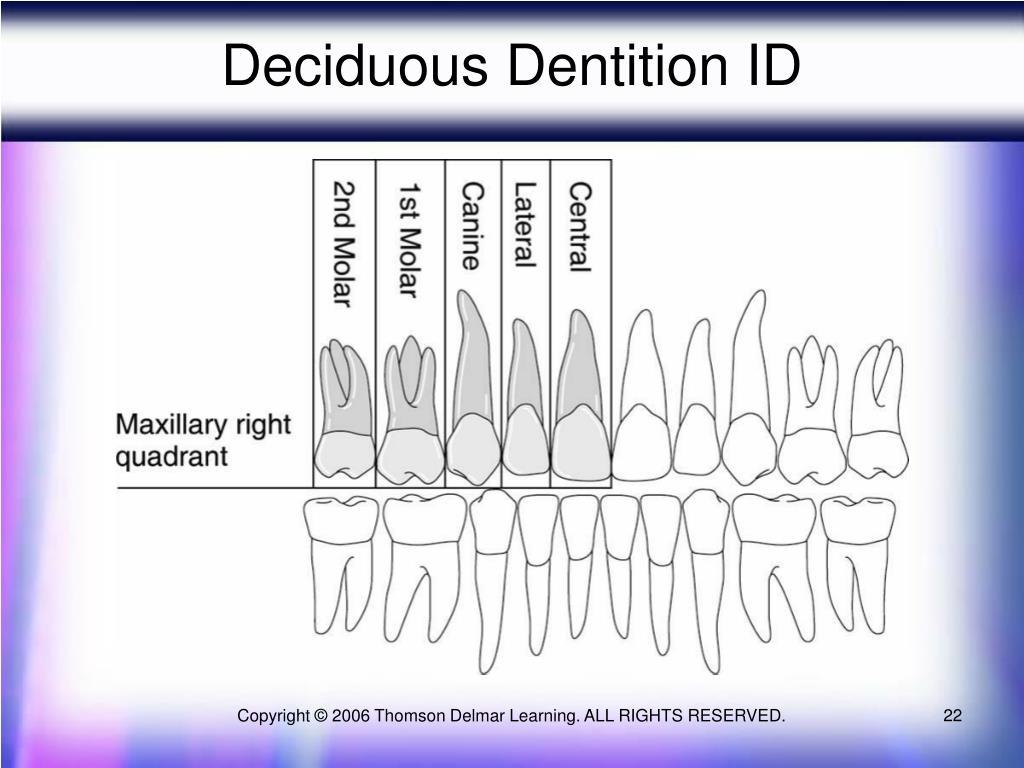 Deciduous Dentition ID