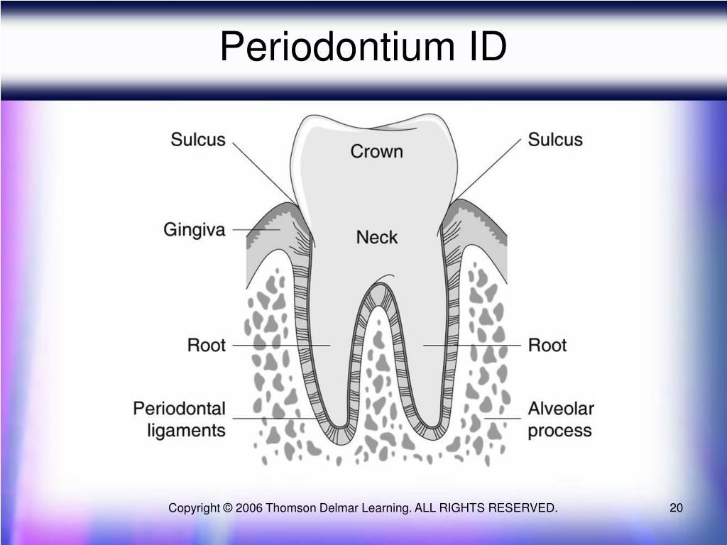 Periodontium ID