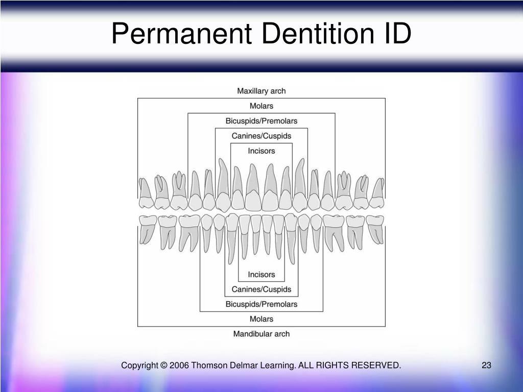 Permanent Dentition ID