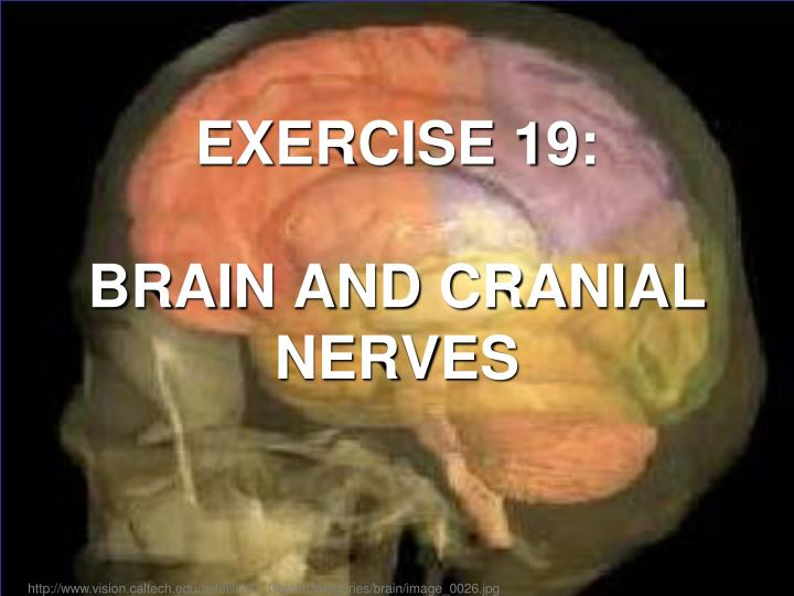 exercise 19 brain and cranial nerves n.