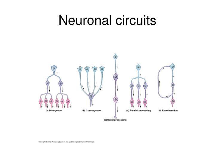 Neuronal circuits