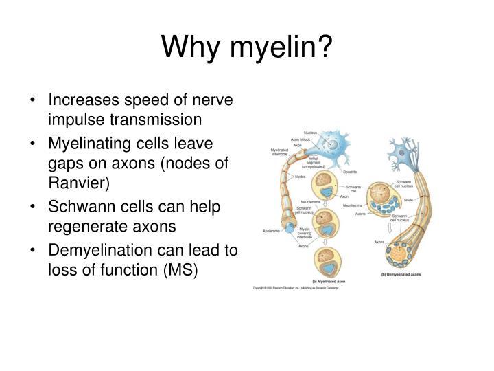 Why myelin?