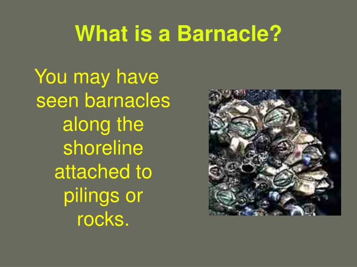 What is a barnacle