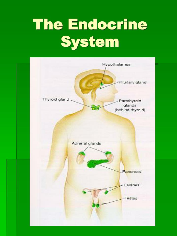 write essay endocrine system The endocrine system essay - the endocrine system is a group of glands distributed throughout the human body this group of glands secretes substances called hormones.