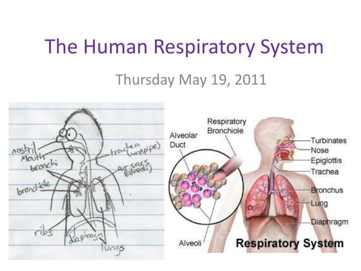 Ppt The Human Respiratory System Powerpoint Presentation Id1490588