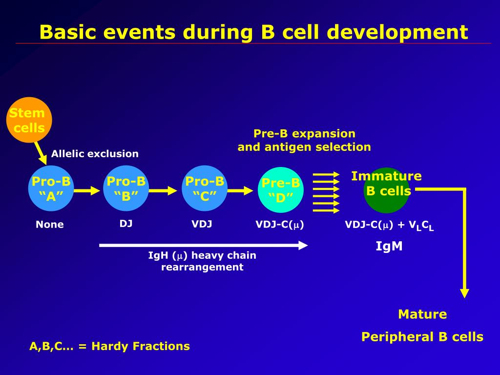basic events during b cell development l.
