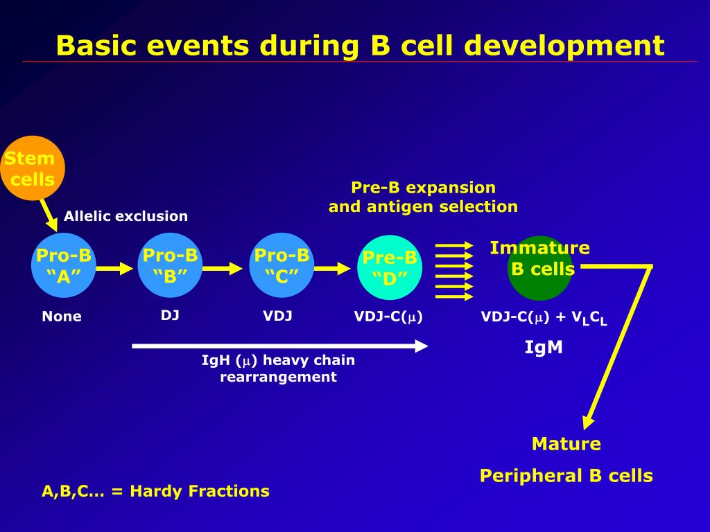 Basic events during B cell development