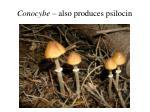 conocybe also produces psilocin