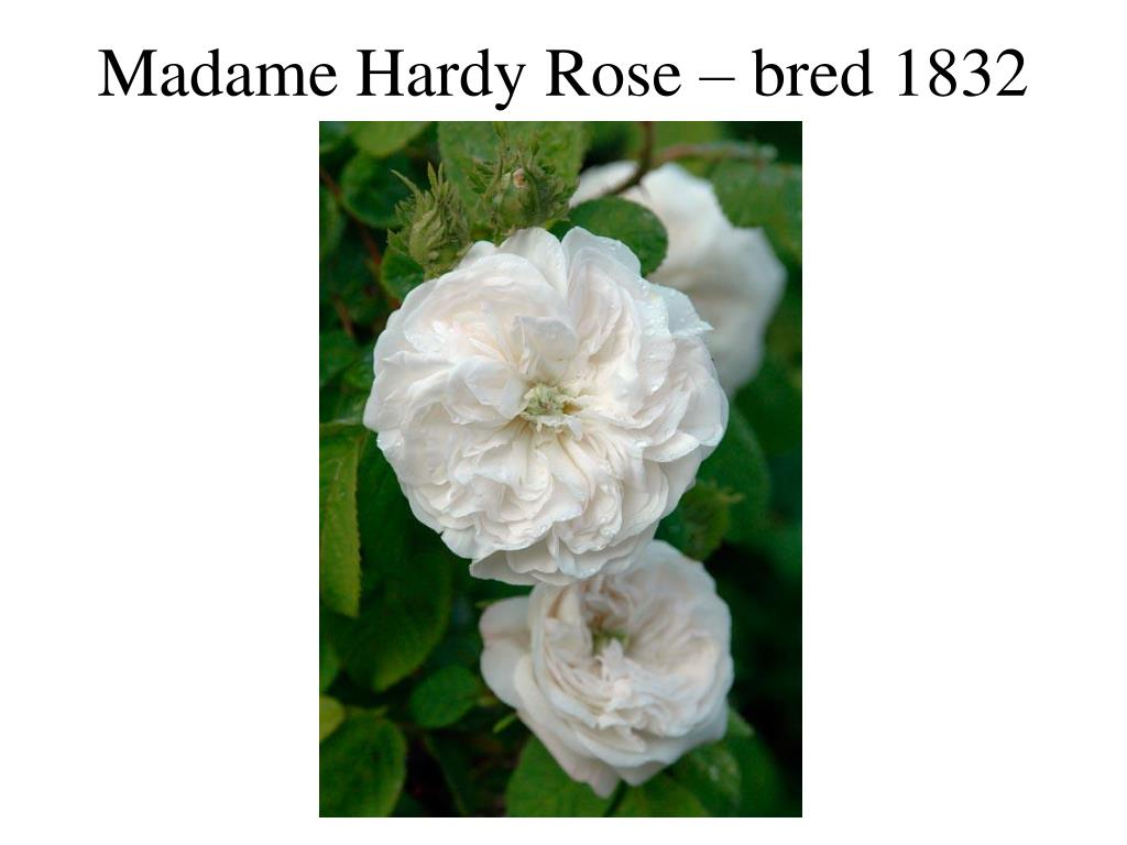 Madame Hardy Rose – bred 1832