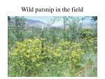 wild parsnip in the field