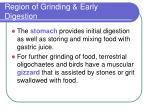 region of grinding early digestion