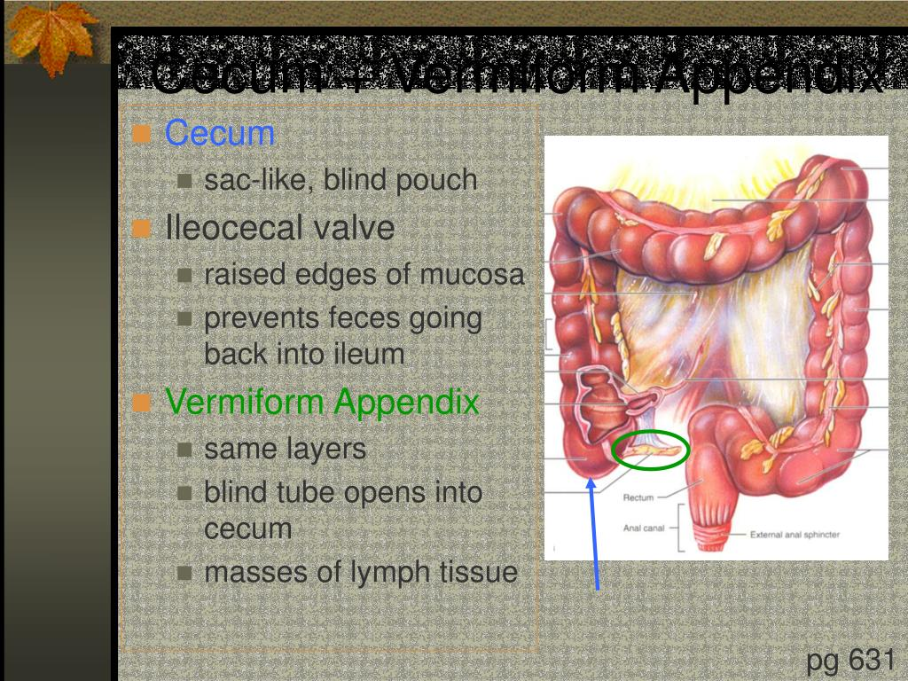 Cecum + Vermiform Appendix