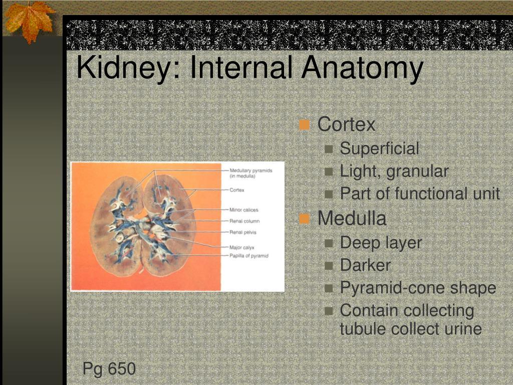 Kidney: Internal Anatomy