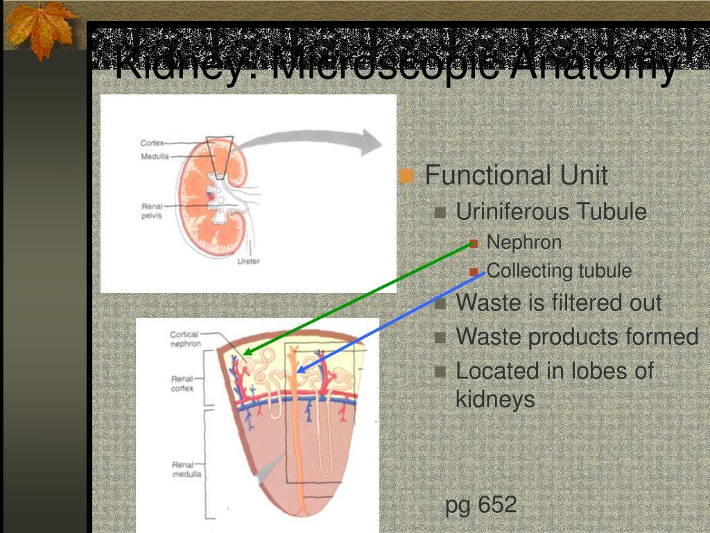 Kidney: Microscopic Anatomy