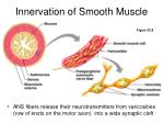 innervation of smooth muscle21