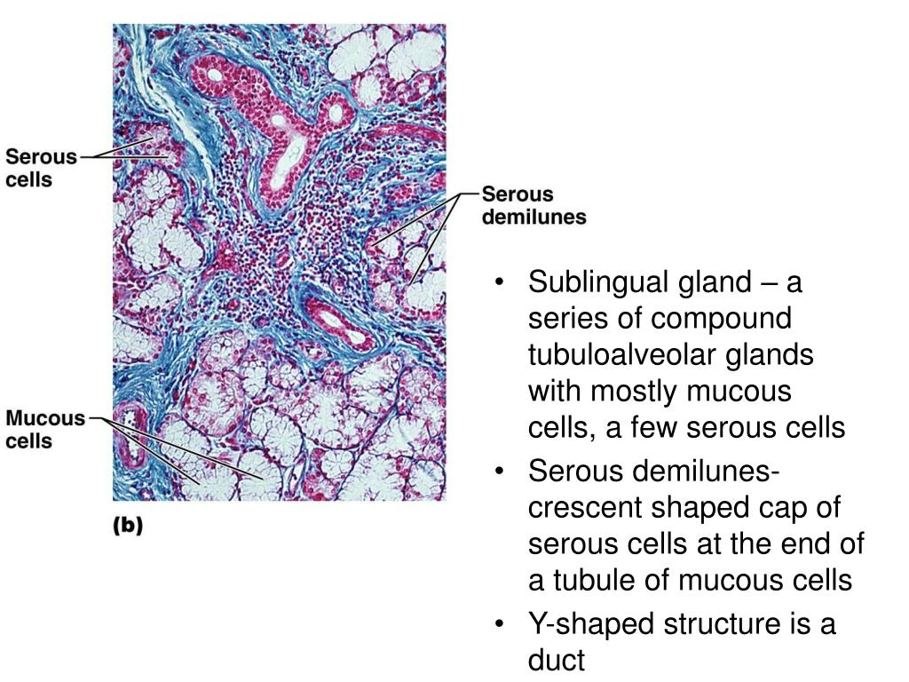 Sublingual gland – a series of compound tubuloalveolar glands with mostly mucous cells, a few serous cells