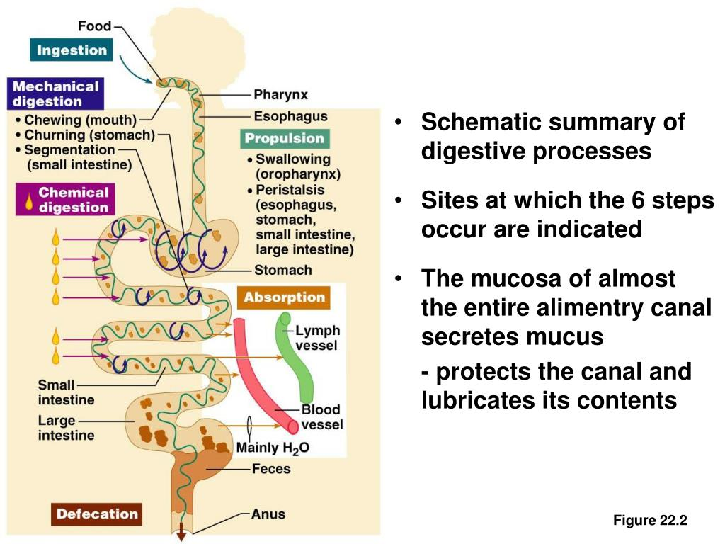 Schematic summary of digestive processes