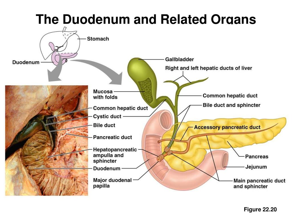 The Duodenum and Related Organs