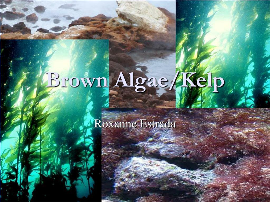 brown algae kelp l.