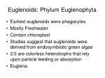 euglenoids phylum euglenophyta