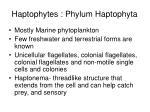 haptophytes phylum haptophyta