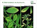 k deficiency in alfalfa