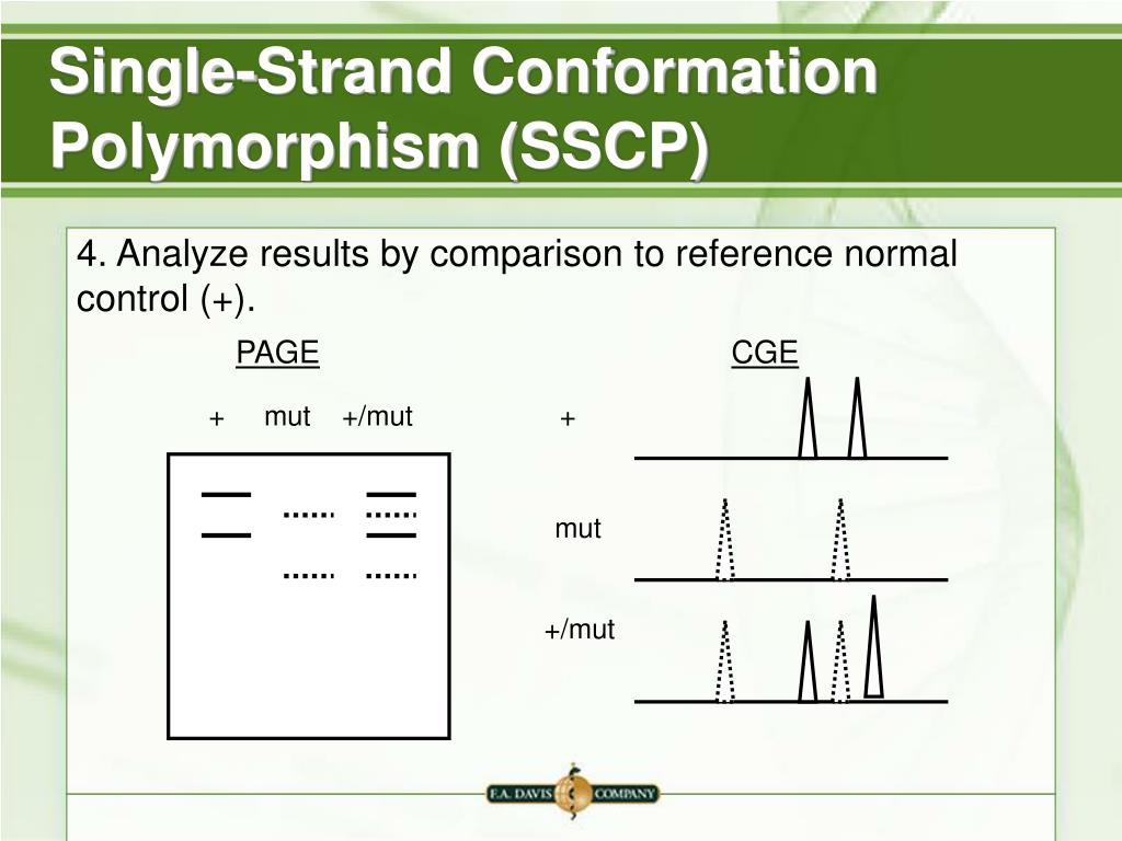 Single-Strand Conformation Polymorphism (SSCP)