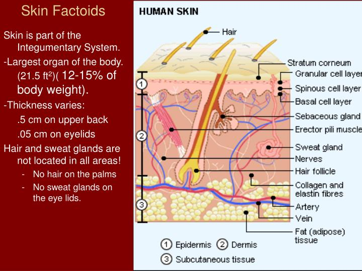 vascular region of the integumentary system