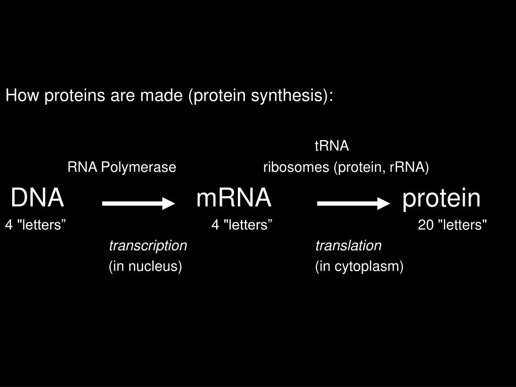 How proteins are made (protein synthesis):