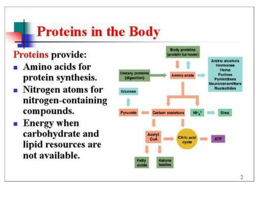 protein metabolism l.